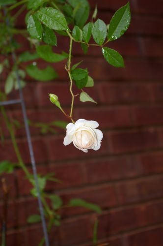 Quent's Rose 001
