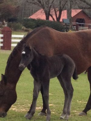 2012 Black horse baby