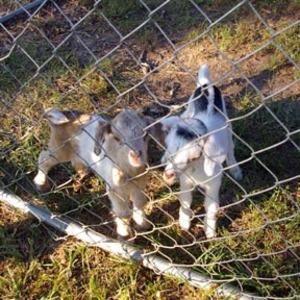 Goats2007_001