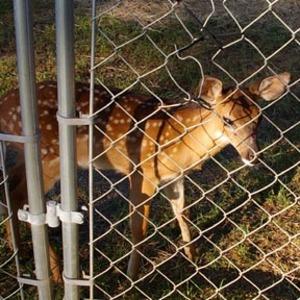 Goats2007_002