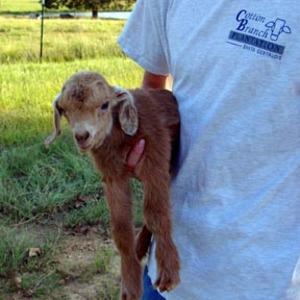 Goats2007_003