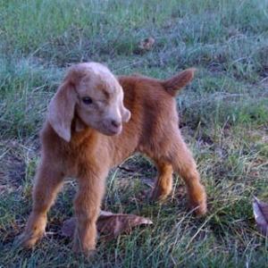 Goats2007_004_2