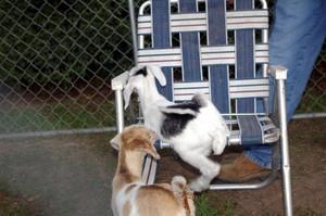 Goats2007_011_3