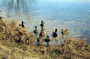 Ducksbuggerand_joshspics08_003